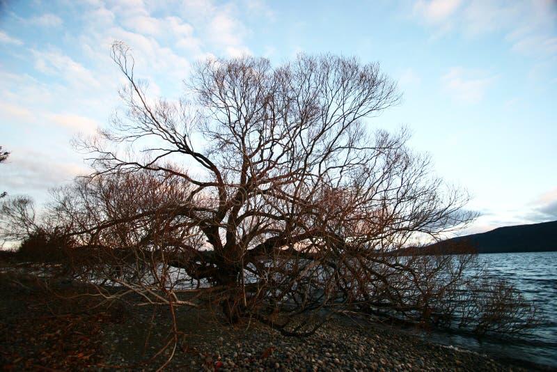 Arbre sans feuilles isolé à l'aube en hiver photo libre de droits