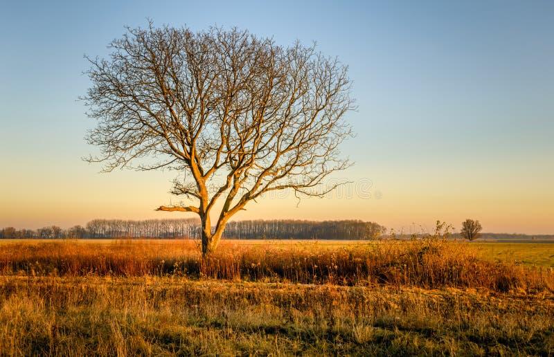 Arbre sans feuilles solitaire dans la lumière d'or du coucher de soleil images libres de droits