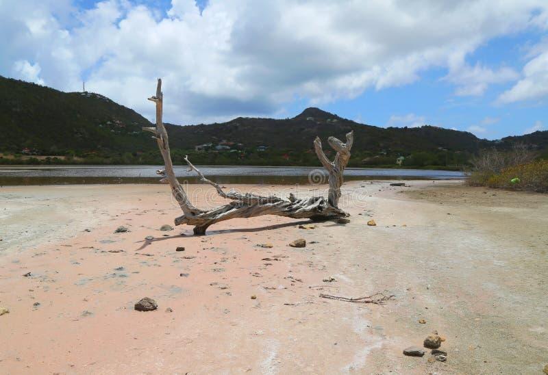 Arbre sec à l'étang de sel à grand salin, St Barts, Antilles françaises photographie stock libre de droits
