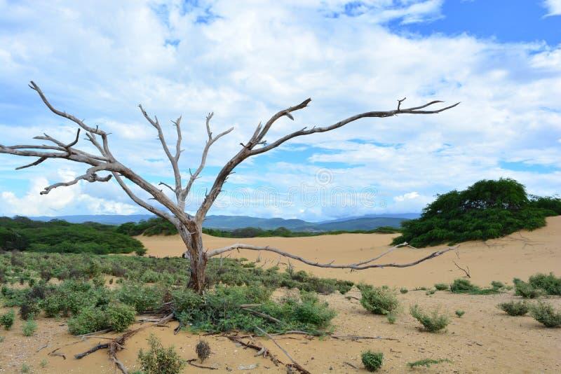 Arbre sec au désert de Medanos de Coro, Venezuela photo libre de droits