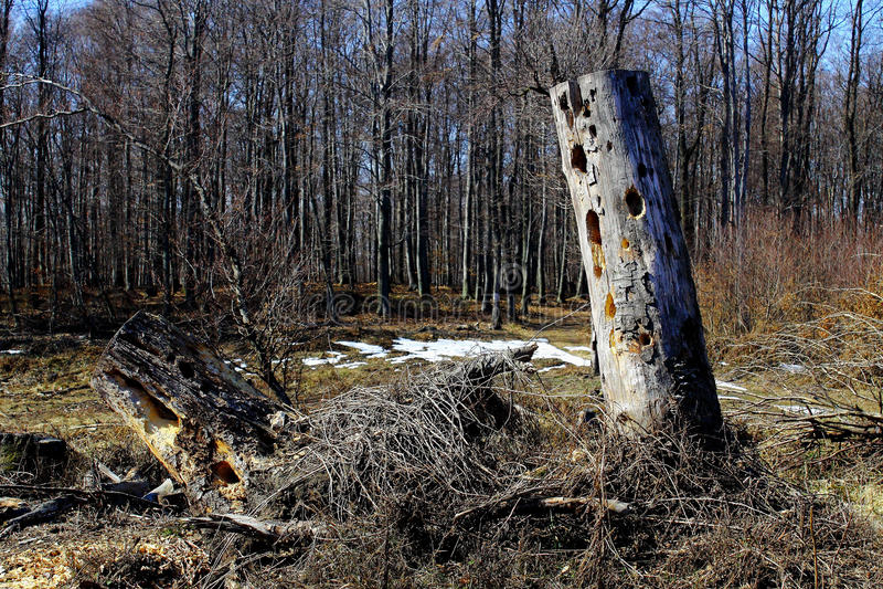 Arbre sec dans la forêt photos libres de droits