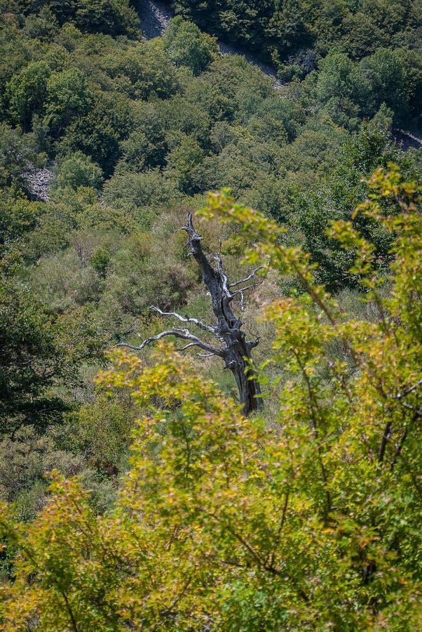 Arbre sec dans la forêt de la montagne de Palencia photos libres de droits