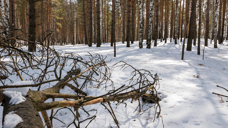 Arbre sec dans la neige Forêt congelée image libre de droits