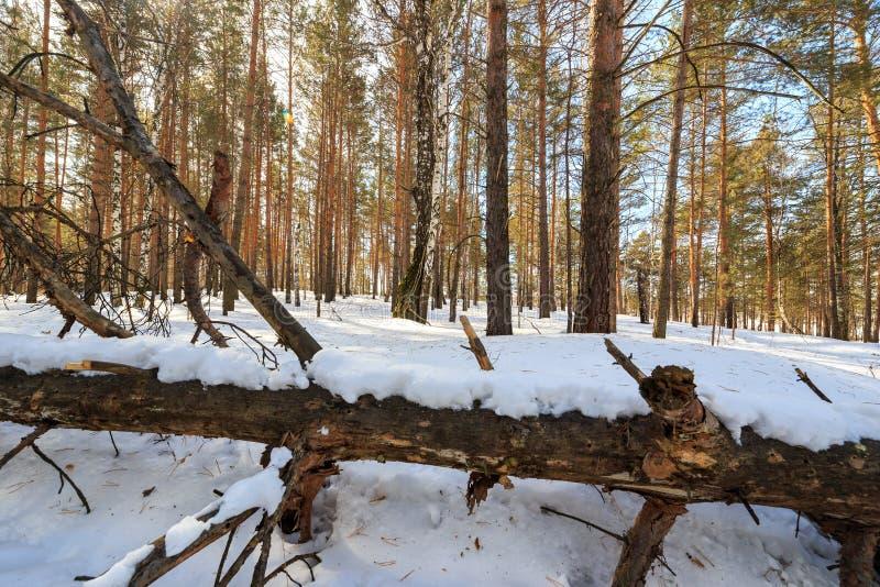 Arbre sec dans la neige Forêt congelée photos stock
