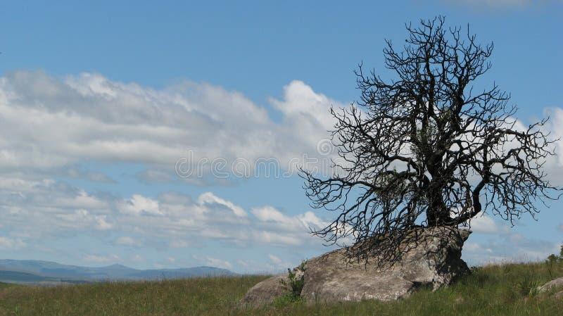 Arbre sec sur la roche, drakensberg illustration stock