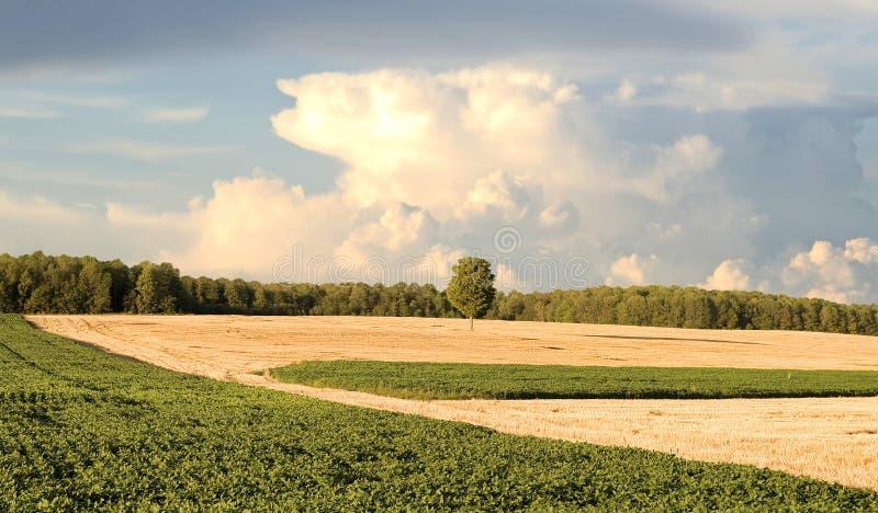 Arbre simple dans un domaine de blé de coupure photos libres de droits