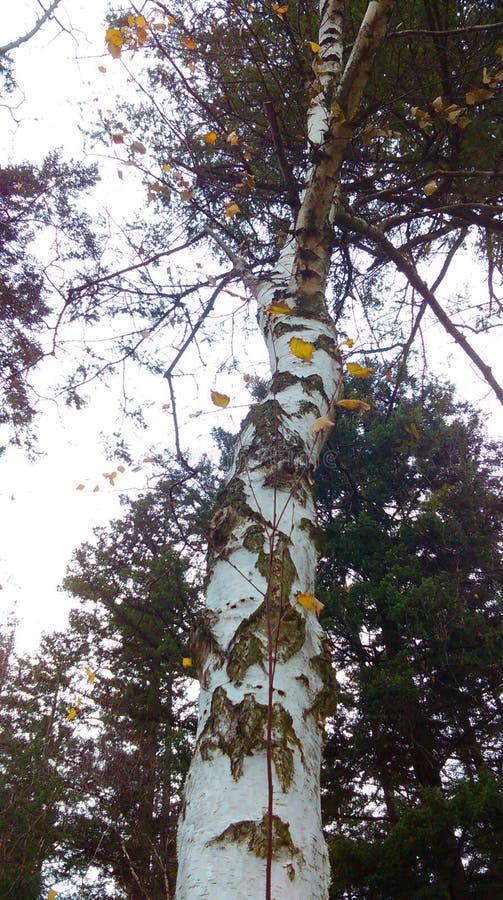 arbre simple de bouleau photo stock