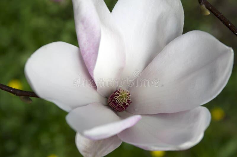 Arbre simple de soulangeana de magnolia de fleur en fleur photo stock