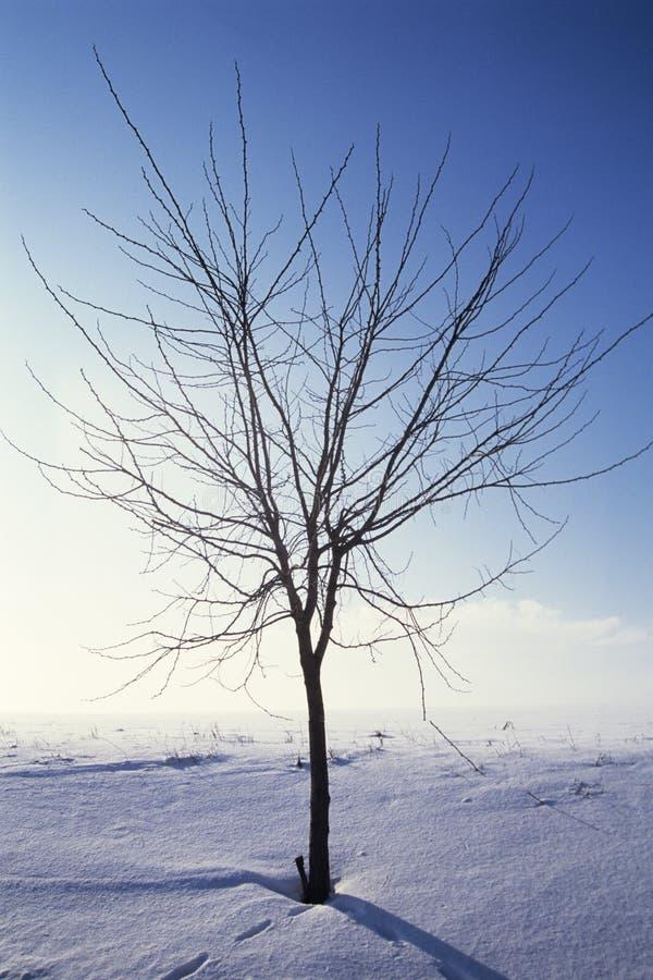 Arbre simple en hiver images libres de droits