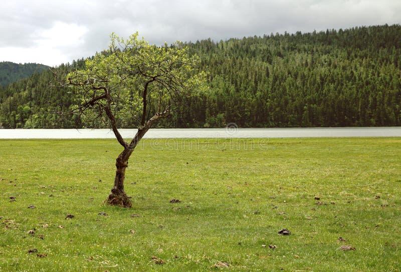 Arbre solitaire photographie stock