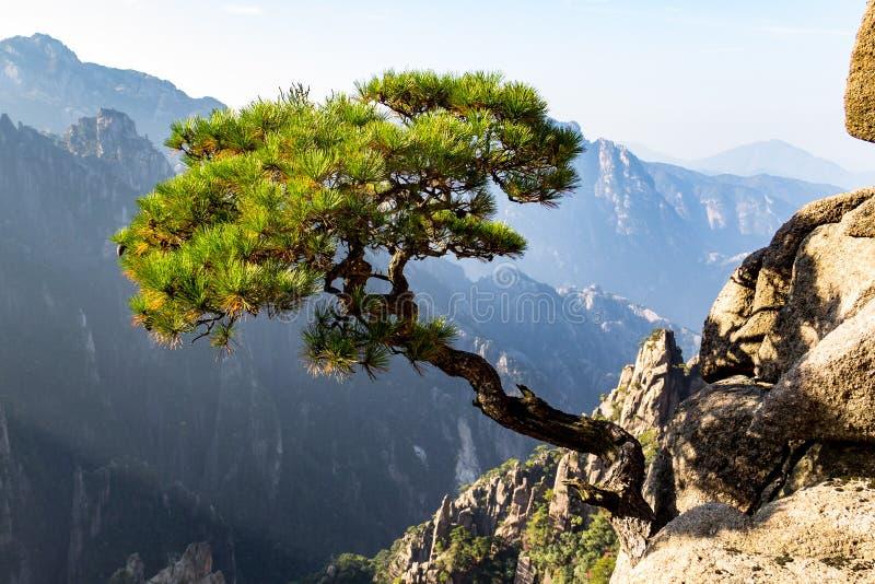 Arbre solitaire dans Grand Canyon de la mer occidentale sur Mt Huangshan, Chine images libres de droits
