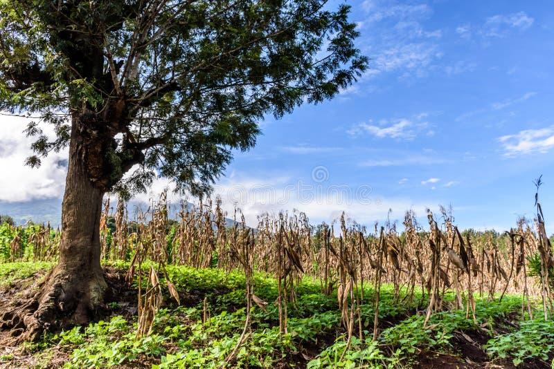 Arbre solitaire dans le domaine de maïs et de haricot, Guatemala photographie stock libre de droits