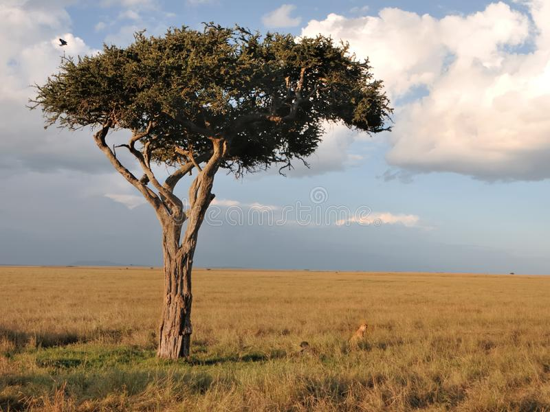Arbre solitaire dans le masai Mara images stock
