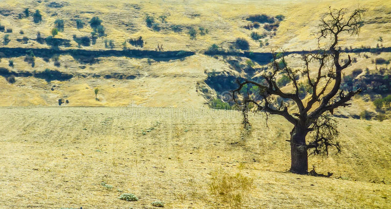 Arbre solitaire dans le paysage desséché d'été photos libres de droits