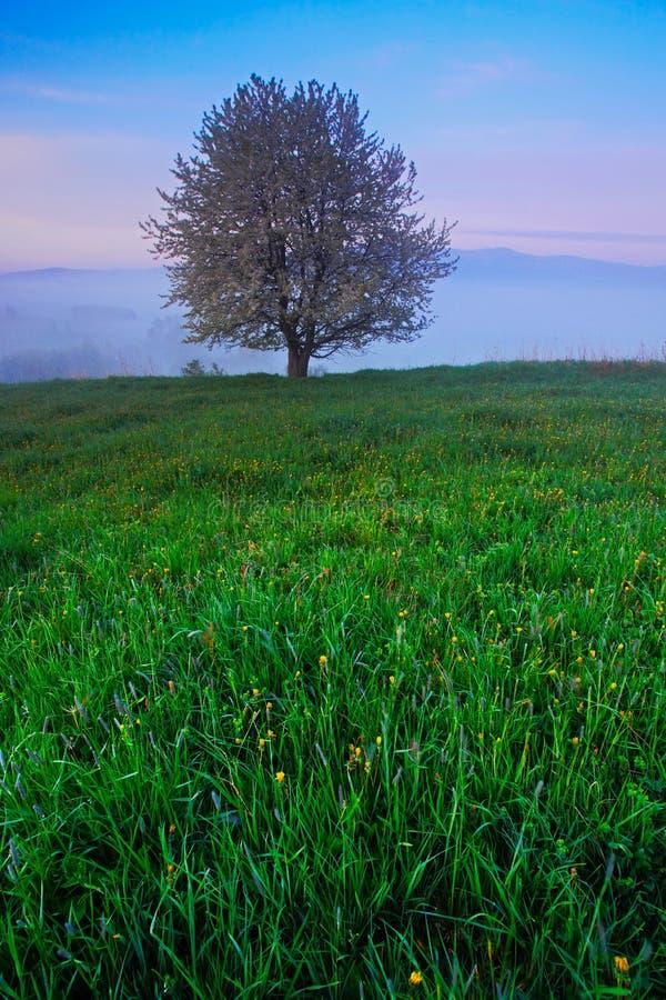 Arbre solitaire Matin brumeux d'été dans les montagnes Arbre de floraison sur la colline avec le brouillard Arbre de montagne de  photographie stock