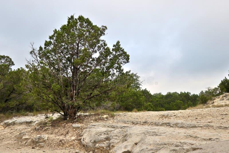Arbre solitaire se tenant grand dans la roche photo libre de droits