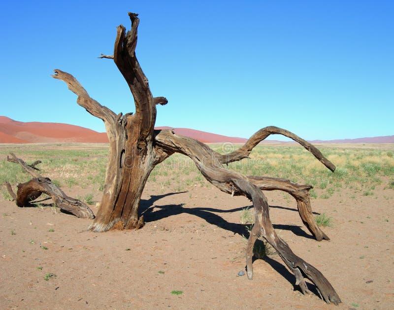 Arbre squelettique dans le désert de Kalahari images libres de droits