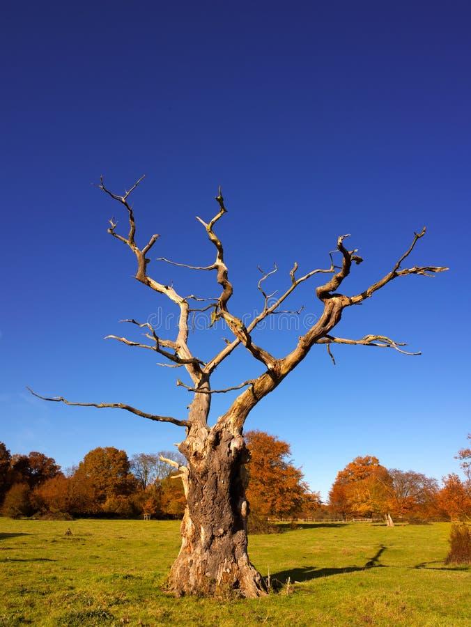 Arbre squelettique en automne images stock