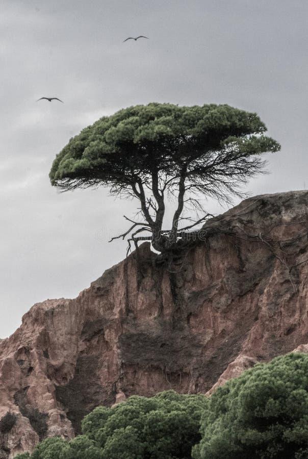 Arbre sur le bord, avec des racines sortant d'une falaise photos stock
