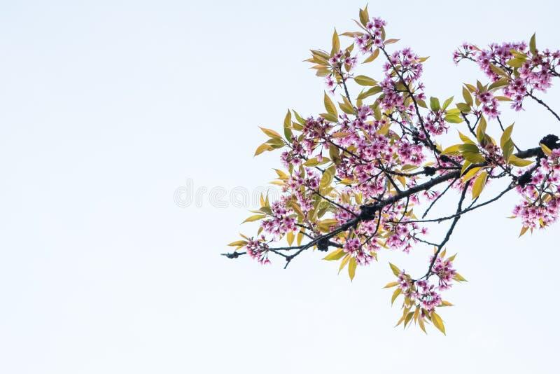 Arbre thaïlandais de Sakura et ciel bleu photo libre de droits