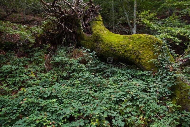 Arbre tombé énorme complètement de mousse dans la forêt photographie stock libre de droits