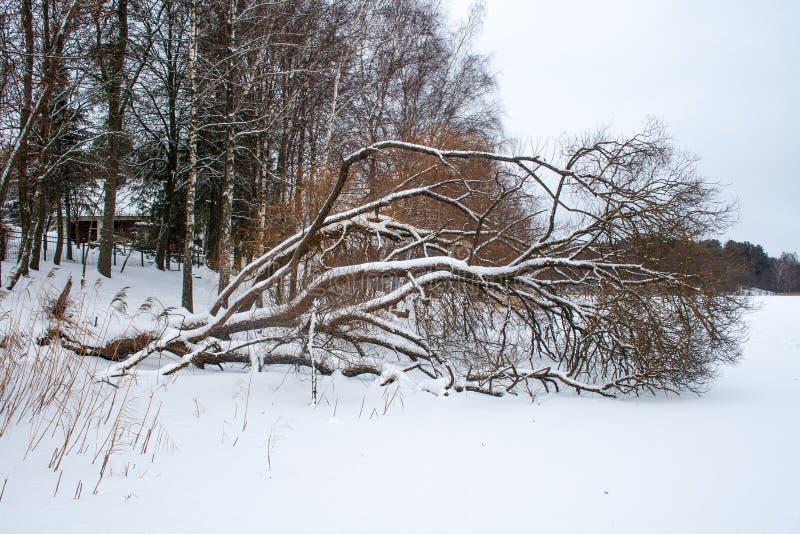 Arbre tombé dans un lac congelé photo libre de droits