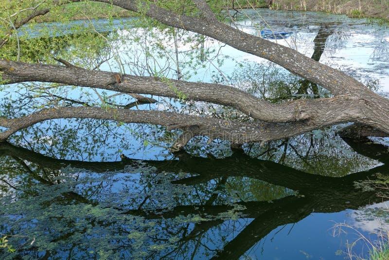 Arbre tombé dans un lac envahi avec la lie photos libres de droits