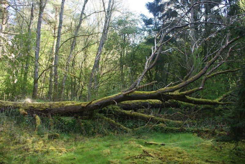 Arbre tombé dans une forêt images stock