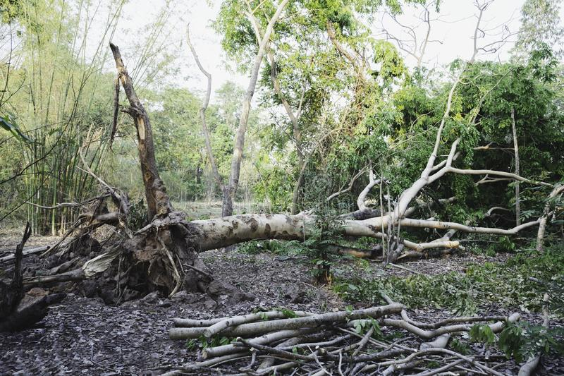 Arbre tombé dans une forêt arbre tombé et mort d'A au milieu de la forêt images libres de droits