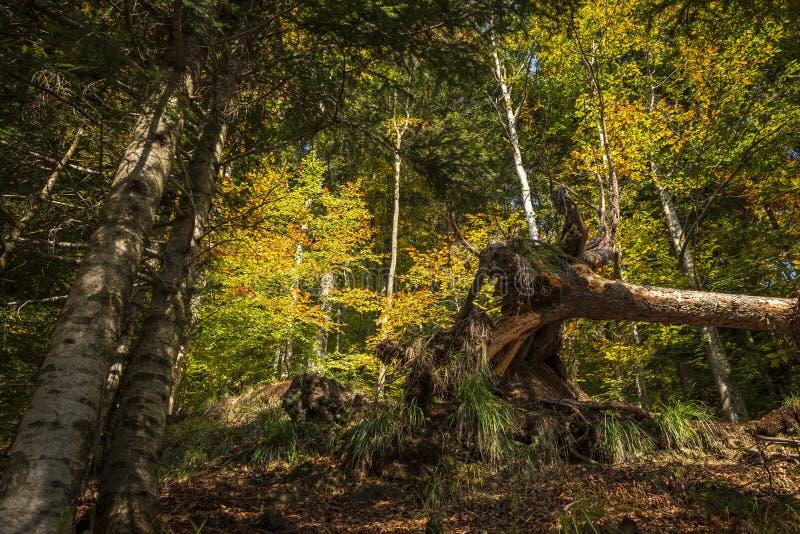 Arbre tombé et déraciné dans un bois magique en automne photos stock