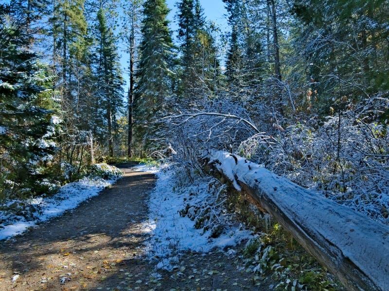 Arbre tombé le long de sentier de randonnée de Schoolcraft en parc d'état d'Itasca au Minnesota photo libre de droits