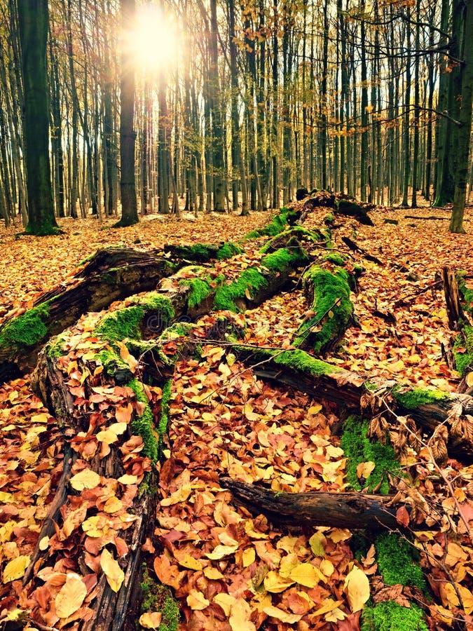 Arbre tombé moussu Sentier piéton dans la forêt couverte par les racines nues photo stock