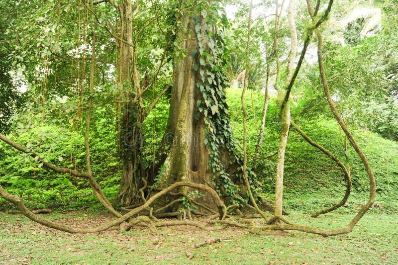 Arbre tropical sur la forêt de Quirigua images stock