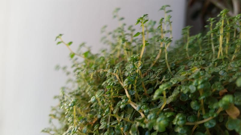 Arbre vert accrochant sur un fond blanc s'élever d'isolement par usine de vigne de vert de lierre tropical Chemin de coupure image stock