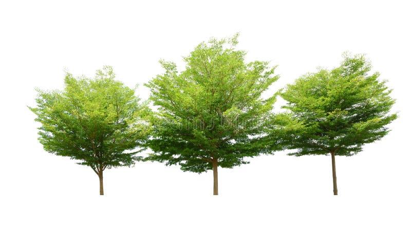 Arbre vert d'isolement sur le fond blanc, nom binomial Terminali photographie stock libre de droits