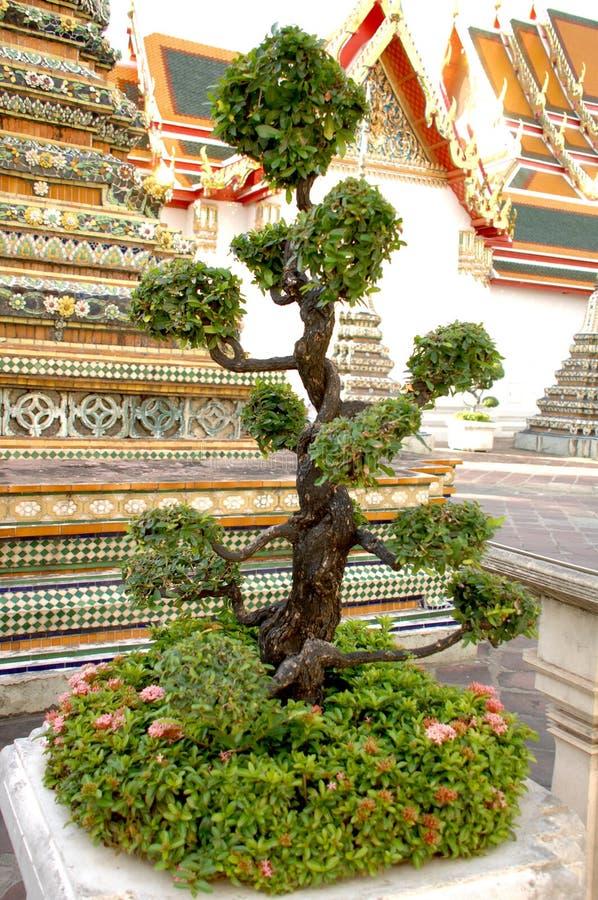 Arbre vert de bonsaïs avec les fleurs roses, Bangkok, Thaïlande images libres de droits