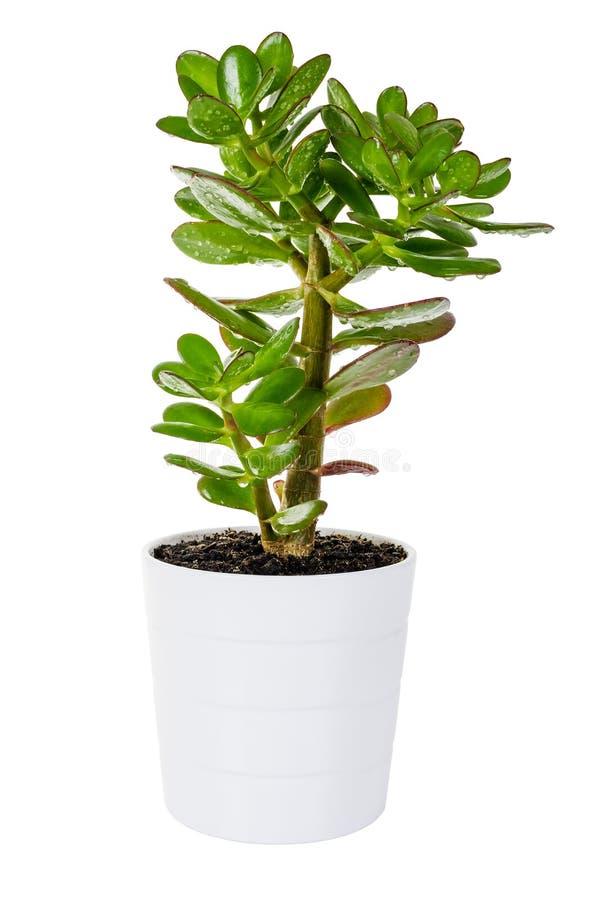 Arbre vert de Crassula ou d'argent dans le pot de fleur blanche d'isolement photos libres de droits