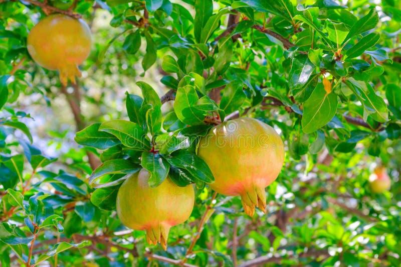 Arbre vert de grenade avec un fruit dans le jardin ensoleillé photo libre de droits