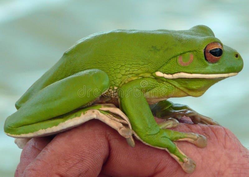 arbre vert de grenouille photos libres de droits