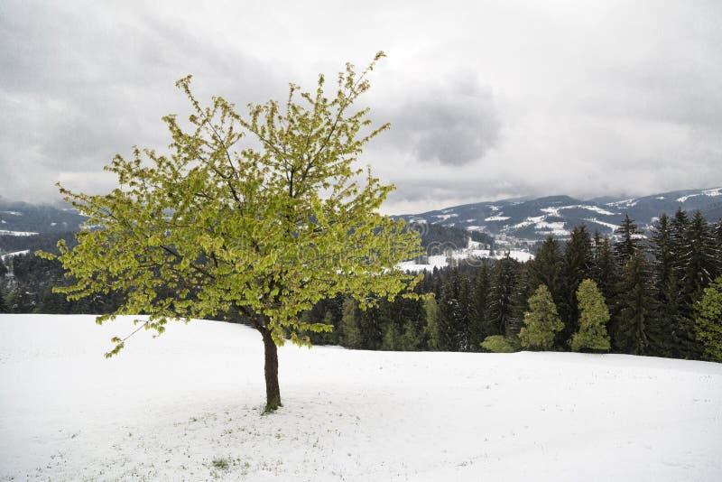 Arbre vert de ressort dans la neige images stock