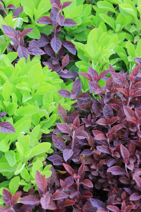 Arbre vert et pourpre de feuille de jardin tropical image stock