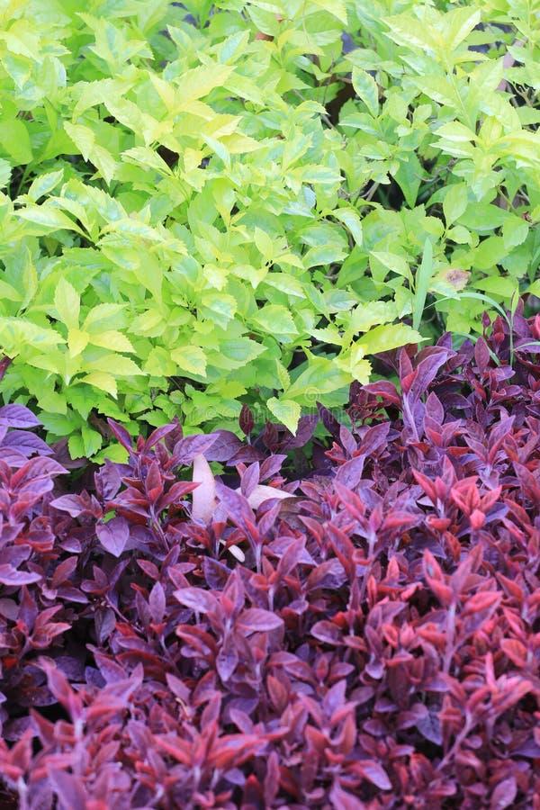 Arbre vert et pourpre de feuille de jardin tropical photos stock