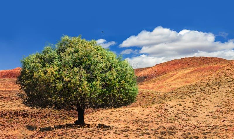 Arbre vert isolé d'argan au milieu de la vallée désolante au Maroc Beau paysage africain du nord photos libres de droits