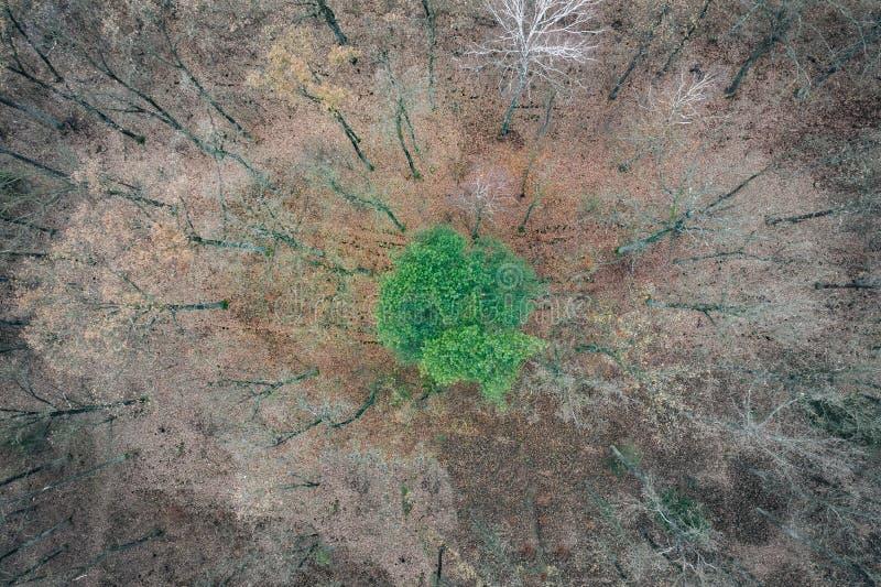 Arbre vert isolé parmi les arbres morts image stock