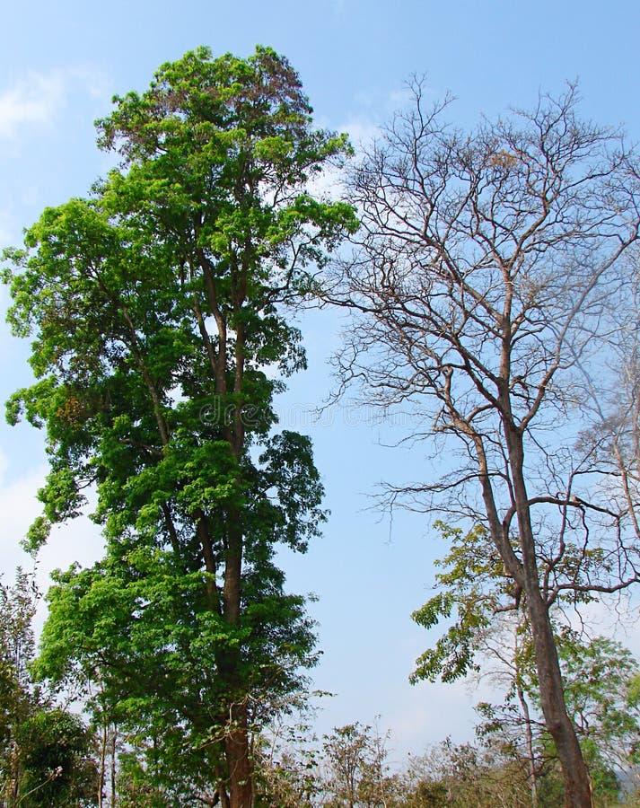 Arbre vert luxuriant et arbre nu sans feuilles - jaillissez contre l'automne - buEnvironment - contraste et paradoxe photographie stock libre de droits