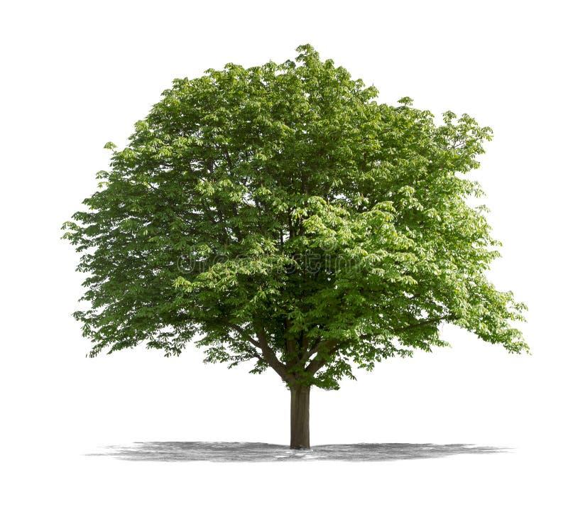 Arbre vert sur un fond blanc photo libre de droits