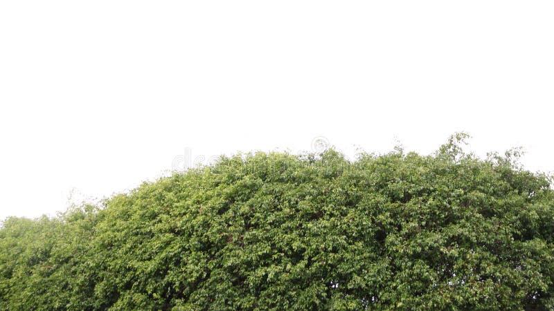 Arbre vert sur un fond blanc photos libres de droits
