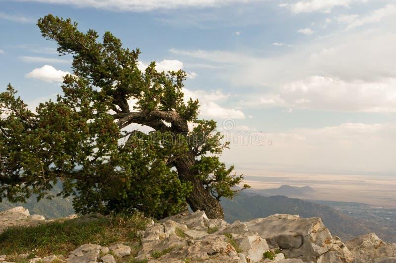 Arbre Windblown de sommet de montagne image stock