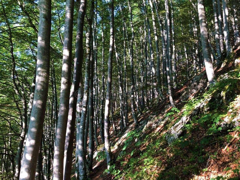 Arbres à feuilles caduques et forêts dans la gamme de montagne d'Alpstein et dans la région d'Appenzellerland image libre de droits