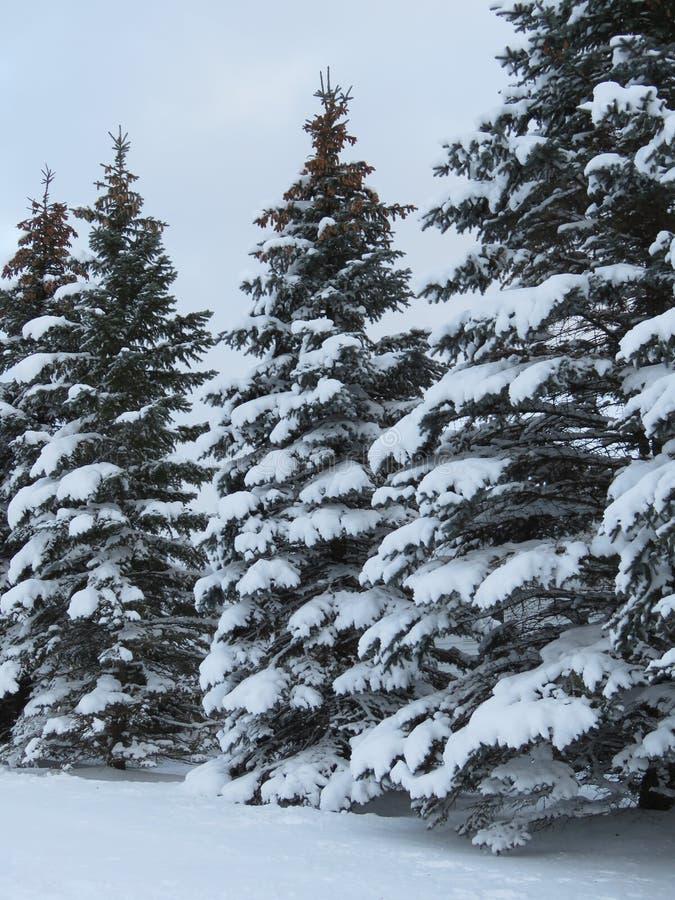 Arbres à feuilles persistantes avec un revêtement d'hiver de neige image stock